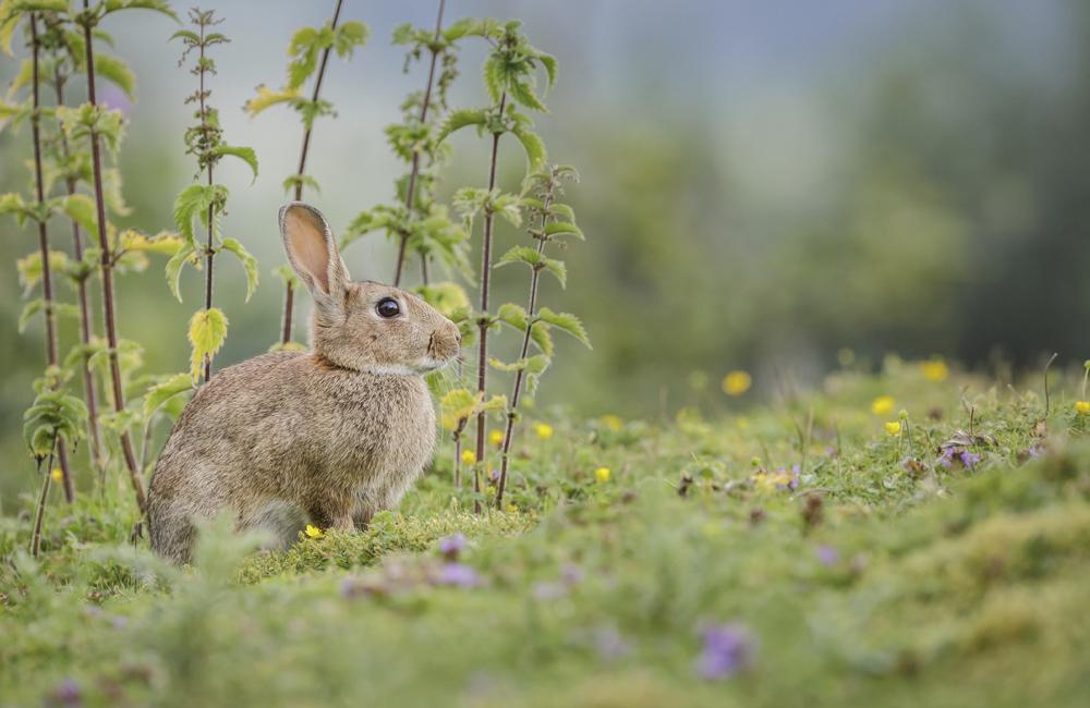 RHD bij konijnen
